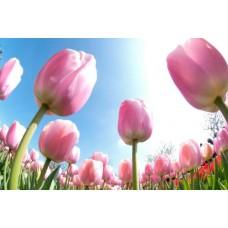 Букети Тюльпанів з доставкою